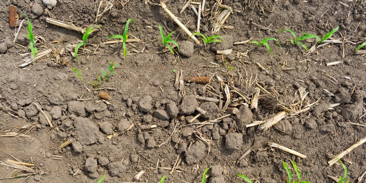 No-dig-corn-production-1200x600