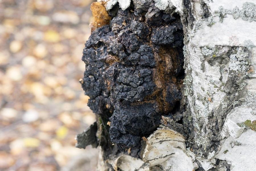 A growth on the birch - medicinal mushroom chaga.