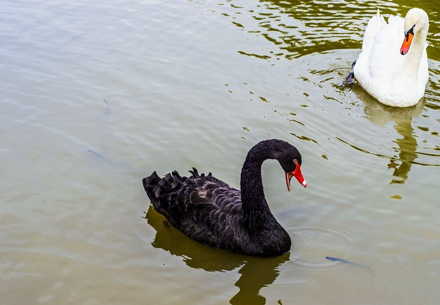 Black and white Swan (Cygnus atratus) floating on water ponds.