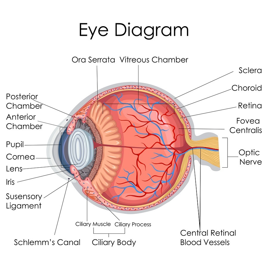 Medical Education Chart of Biology for Human Eye internal Diagram.