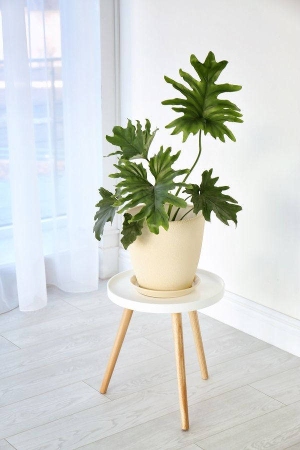 Tropical philodendron with big leaves on table indoors photo