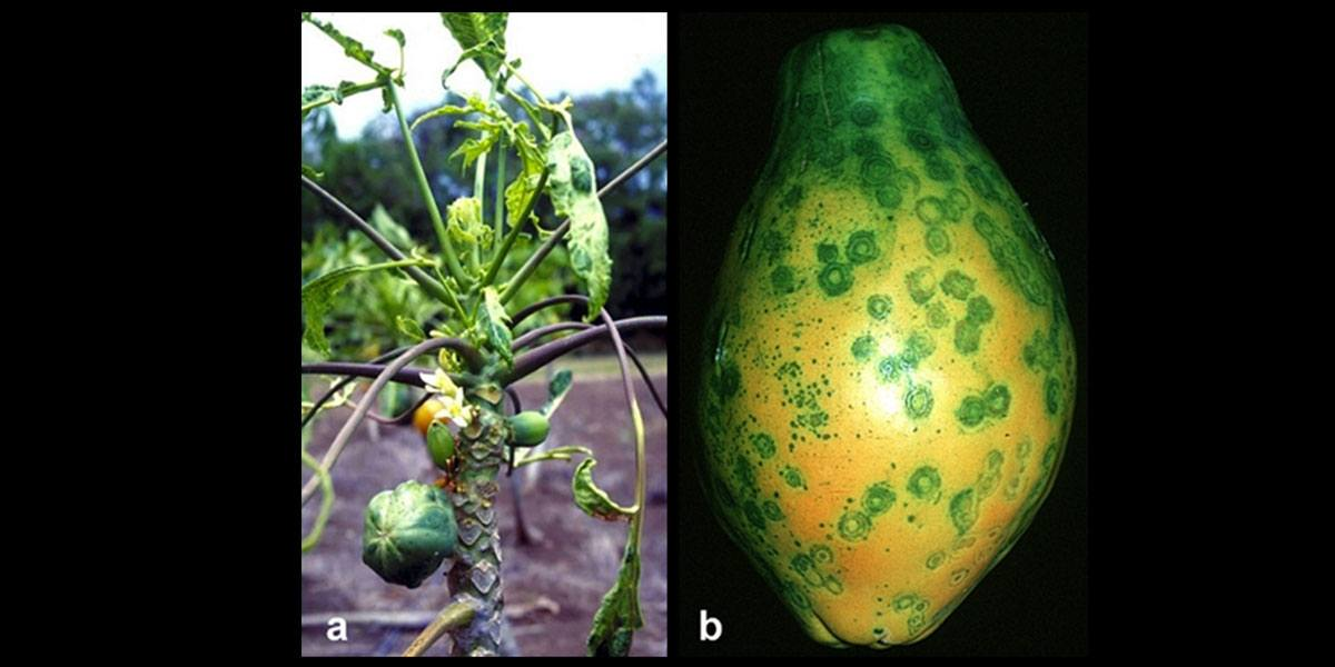 Papaya_Ringspot_Virus_Symptoms_1200x600