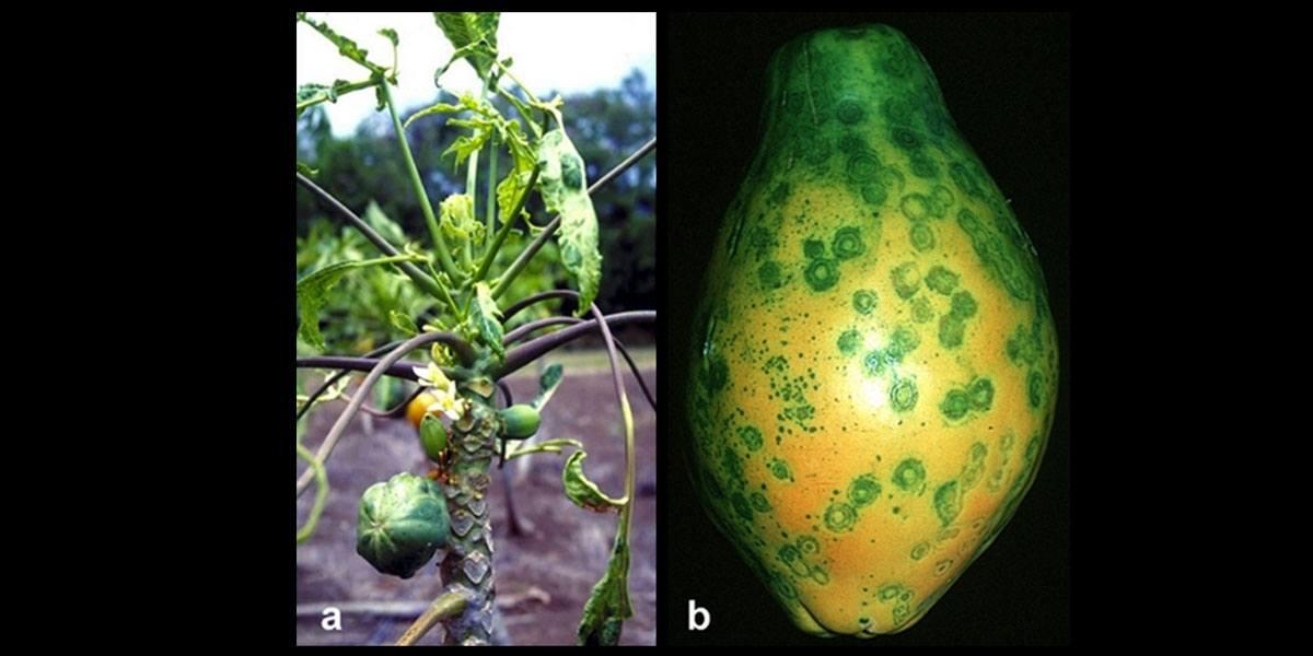 Papaya_Ringspot_Virus_Symptoms_1200x600