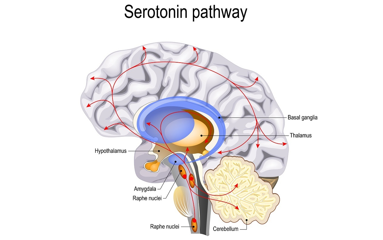 Serotonin pathway. Humans brain with serotonin pathways. psychiatric and neurological disorders.