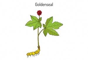 Goldenseal Hydrastis canadensis medicinal plant. Hand drawn botanical vector illustration
