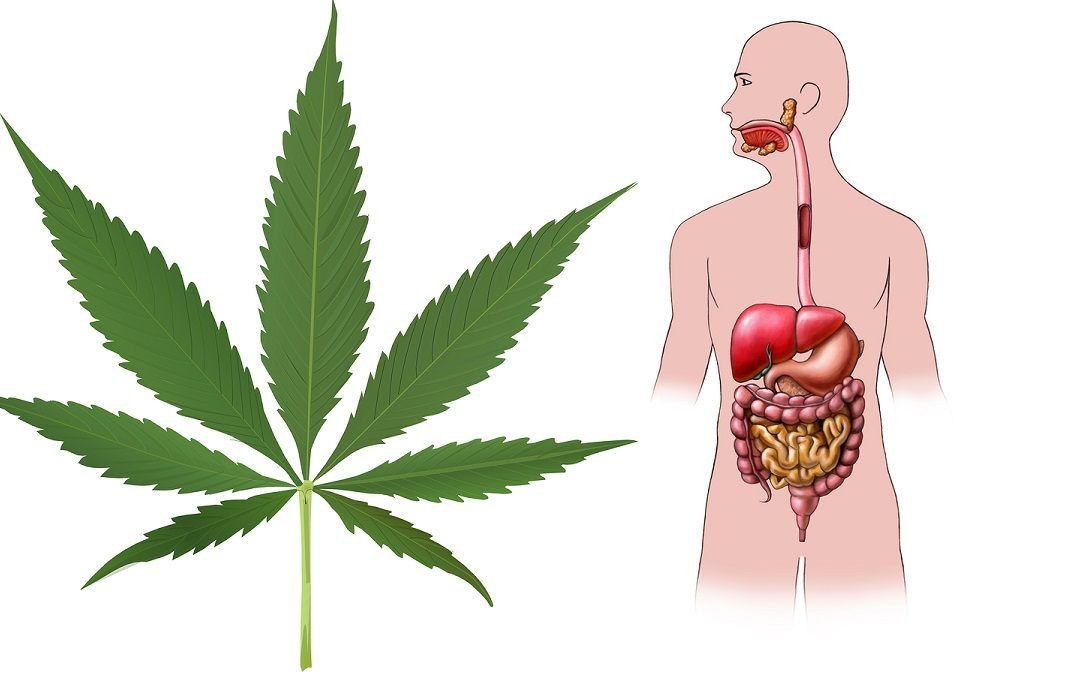 Digital illustration showing the human digestive system with marijuana leaf.