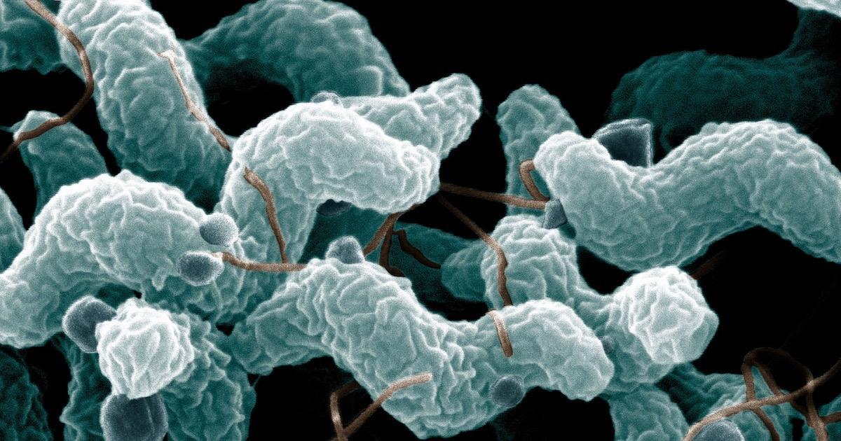 Campylobacter-jejuni